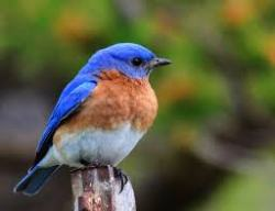 Bluebird perched