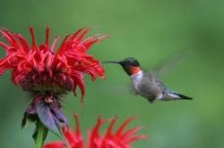 Ruby-throated Hummingbird (Archilochus colubris) - male at Bee Balm (Monarda)