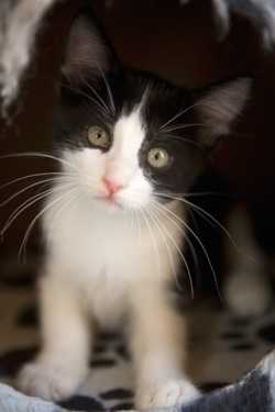 black-and-white-kitten