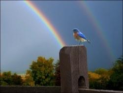 Eastern Bluebird and Rainbow