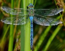 BLUE TAIL DRAGONFLY